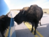 Buffalo licking the road-salt off the van