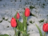 tulips  The late snow didn't seem to hurt them.
