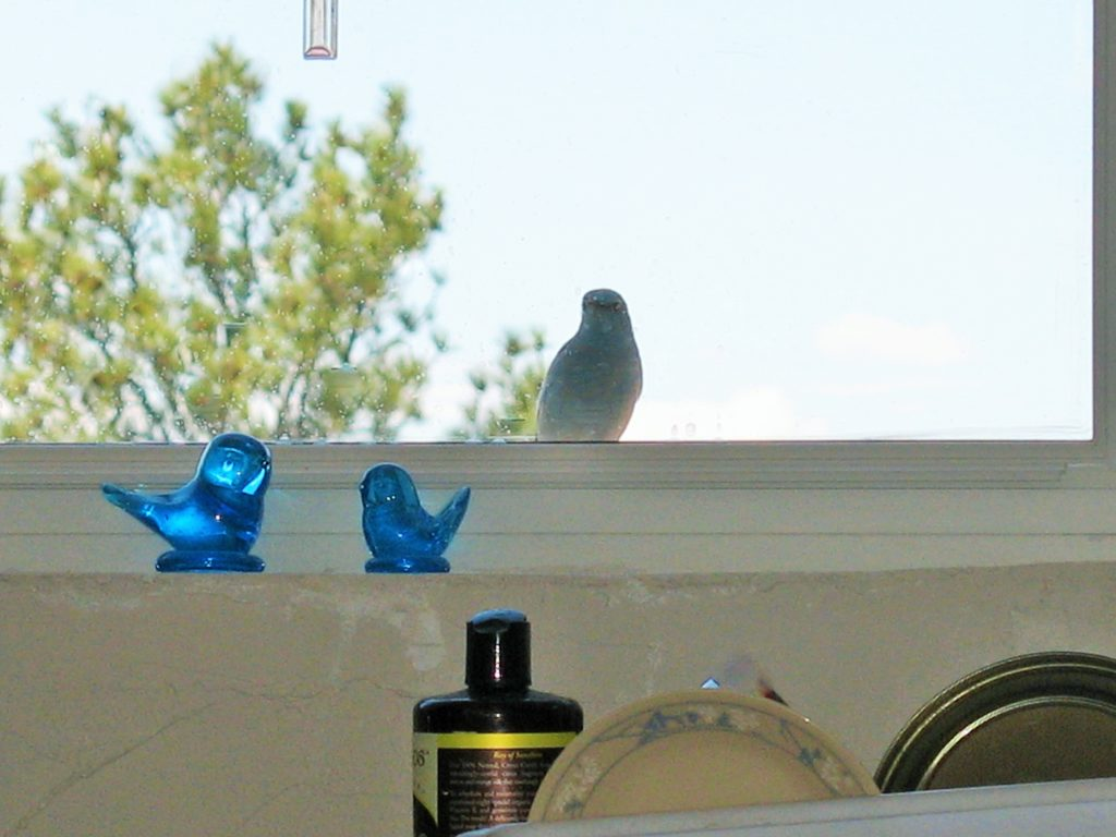 "Our mountain bluebird friend ""Digory"""